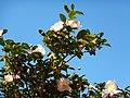 Camellia sasanqua Narumigata 01.jpg