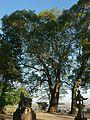 Camphor tree at Nan'nyo Shrine in Yamato, Saga.jpg