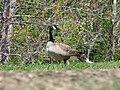 Canada Goose (34109029662).jpg