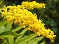 Canadian Goldenrod (Solidago canadensis) (10169466724).jpg