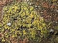 Candelariella vitellina 59035244.jpg