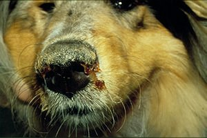 Canine distemper - Dog infected with canine distemper. Note the purulent nasal discharge and hyperkeratotic nose.
