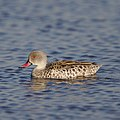 Cape Teal, Anas capensis, Marievale Nature Reserve, Gauteng, South Africa (43064310362).jpg