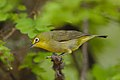 Cape White-eye, Zosterops pallidus, at Marakele National Park, Limpopo Province, South Africa (46677902191).jpg