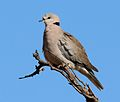 Cape turtle dove (Streptopelia capicola), b.jpg