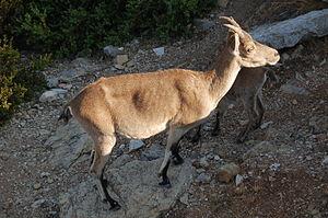 Spanish ibex - Female C.p. hispanica.