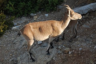 Iberian ibex - Female C.p. hispanica.