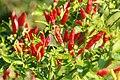 Capsicum frutescens Tabasco 2zz.jpg
