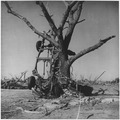 Car wrapped around large tree by tornado. Udall, Kansas - NARA - 283886.tif