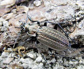 Körniger Laufkäfer (Carabus granulatus)