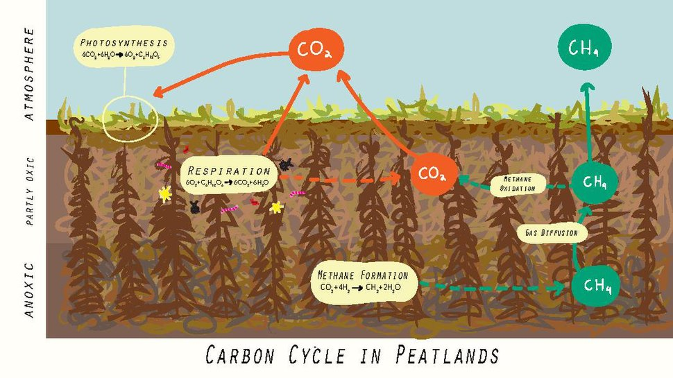 Carbon Cycle in Peatlands.pdf