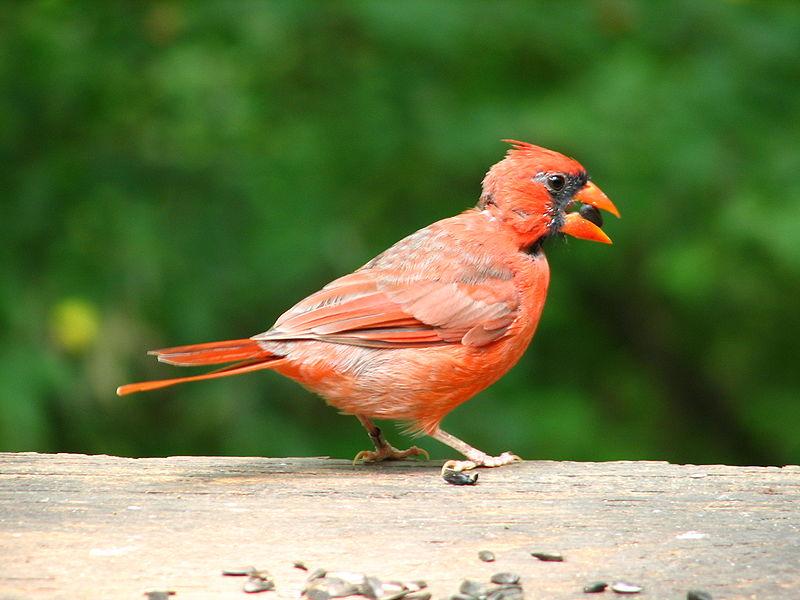 File:Cardinal male 1.JPG