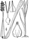 Carex alopecoidea drawing 1.png