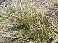 Carex humilis sl7.jpg