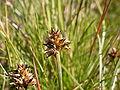 Carex maritima.JPG