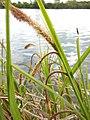 Carex pendula inflorescens (32).jpg