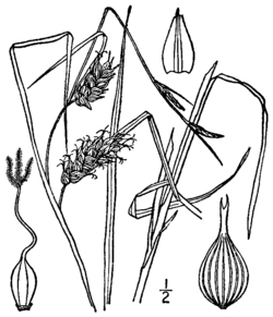 Carex tuckermanii BB-1913.png