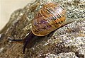 Carrickfergus wildlife -Snail in My Garden. - panoramio.jpg