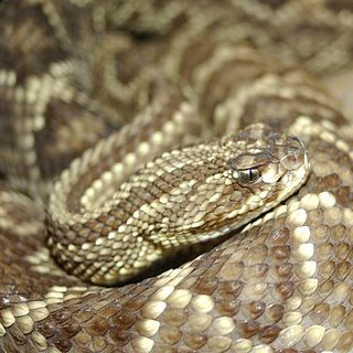 <i>Crotalus durissus</i> species of reptile