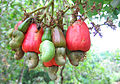 Cashewnuts hanging on a Cashew Tree.jpg