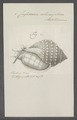Cassidaria echinophora - - Print - Iconographia Zoologica - Special Collections University of Amsterdam - UBAINV0274 074 03 0005.tif