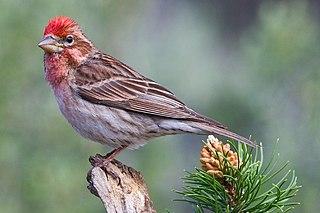 Cassins finch species of bird
