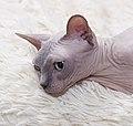 Cat - Sphynx. img 007.jpg