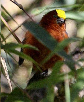 Plushcap - Image: Catamblyrhynchus diadema 1