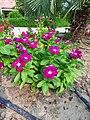 Catharanthus roseus flower 02.jpg