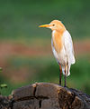 Cattle Egret in Breeding Plumage (7207588586).jpg
