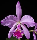 Cattleya warneri T.Moore ex R.Warner, Select Orchid. Pl. t. 8 (1862) (46699509212) (cropped).jpg