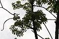 Cecropia obtusifolia 38zz.jpg