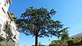 Cedro del Libano, Salita Pontecorvo 72, Napoli (seconda foto).jpg