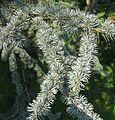 Cedrus libani ssp. atlantica 'Glauca' needles by Line1.jpg