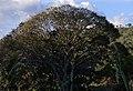 Ceiba (Ceiba pentandra) (14772438728).jpg