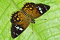 Celaenorrhinus major 20150529.jpg