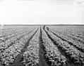 Celery Fields at Palmer Farms near Sarasota.jpg
