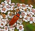 Cerambycidae - Stictoleptura rubra (female).JPG