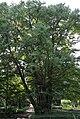 Cercidiphyllum japonicum UW 2.JPG