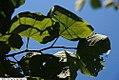 Cercis canadensis Appalachian Red 2zz.jpg