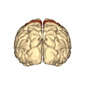Cerebrum - precentral gyrus - posterior view.png