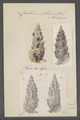 Cerithium aluco - - Print - Iconographia Zoologica - Special Collections University of Amsterdam - UBAINV0274 083 05 0014.tif
