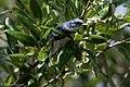 Cerulean Warbler (male) Anahuac NWR-Jackson Prairie Woodlot TX 2018-04-24 14-43-21 (40249840410).jpg