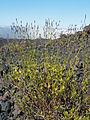 Chã das Caldeiras-Lavandula rotundifolia (3).jpg