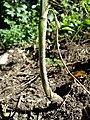 Chaerophyllum bulbosum sl9.jpg
