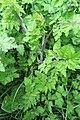 Chaerophyllum temulum plant (09).jpg