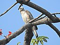 Changeable Hawk Eagle Juvenile Manas, Assam.jpg