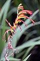 Chasmanthe bicolor 1zz.jpg