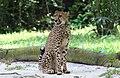 Cheetah (15599553676).jpg