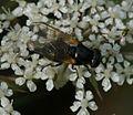 Cheilosia impressa (female) - Burdock Cheilosia.jpg